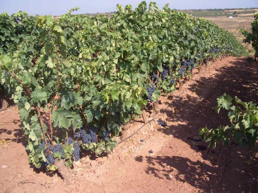 Jakobsweg, reife Weintrauben vor der Ernte