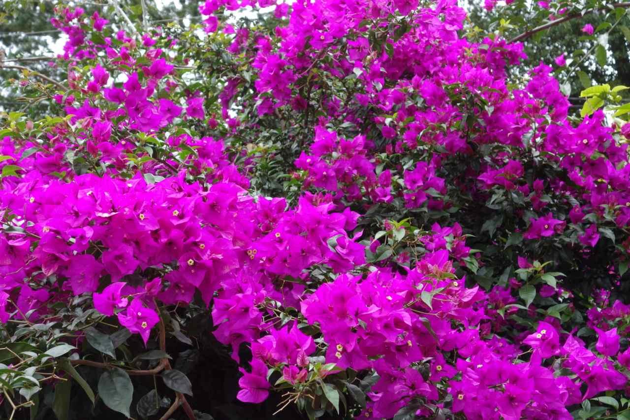 Panama, Boquete, Stadt der Blumen