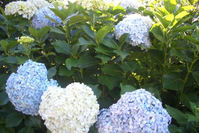 Blühende Hortensien im Oktober auf dem Jakobsweg