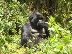 Ruanda, Berggorilla