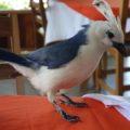 Isla Ometepe, Nicaragua, Vogel auf dem Frühstückstisch