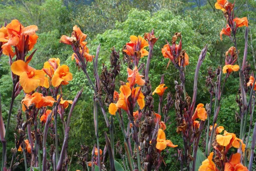 Panama, Boquete, Blumen