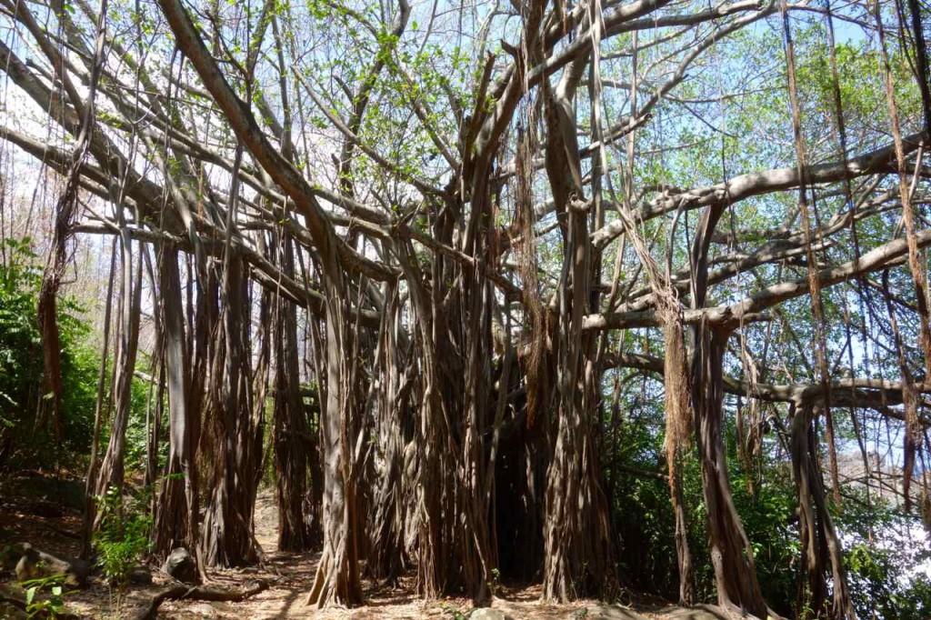 Brasilien Ilha de Noronha, Baum in der Nähe vom Fort