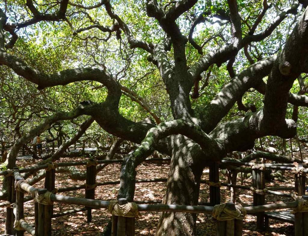 Nahe Natal in Pirangi do Norte, der größte Cashew-Nussbaum der Welt, der fast einen Straßenblock an Platz einnimmt.