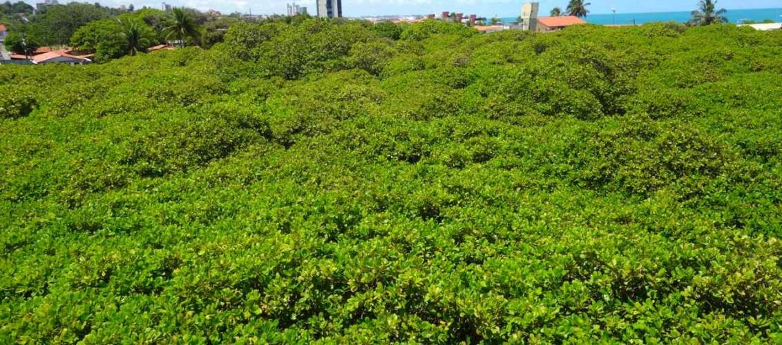 Brasilien, Pirangi do Norte, der größte Cashew-Nussbaum der Welt, der fast einen Straßenblock an Platz einnimmt.