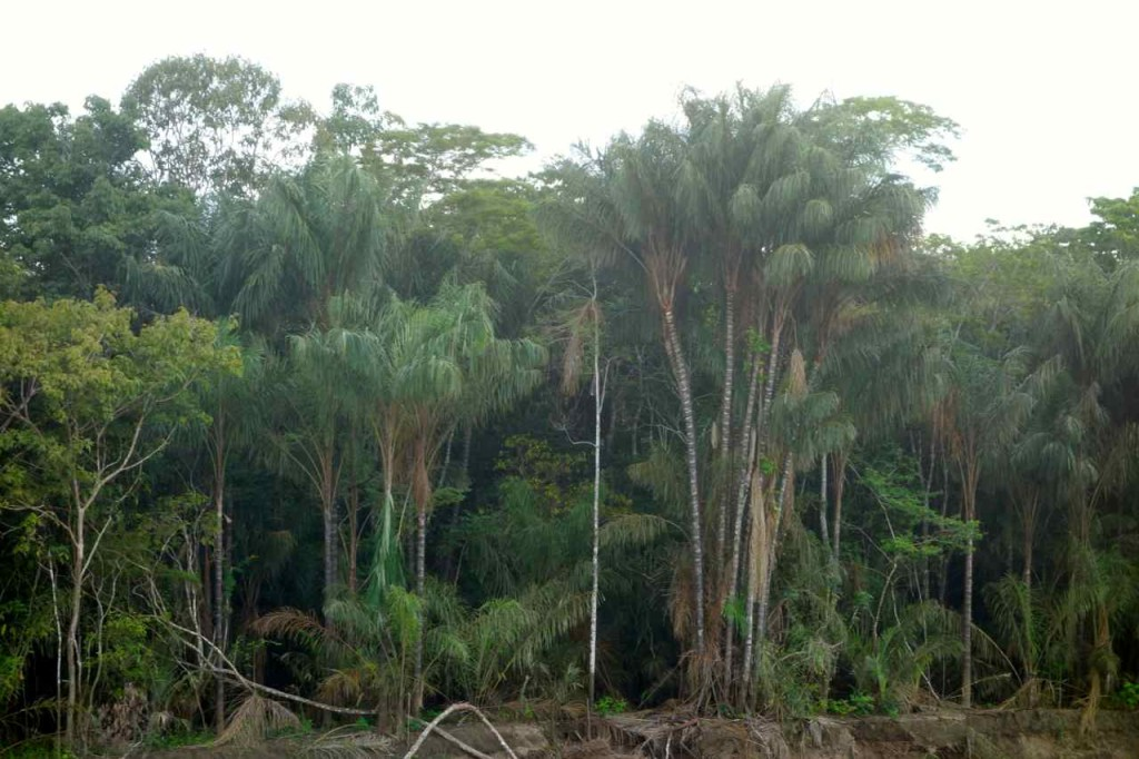 Amazonas, Bäume am Ufer