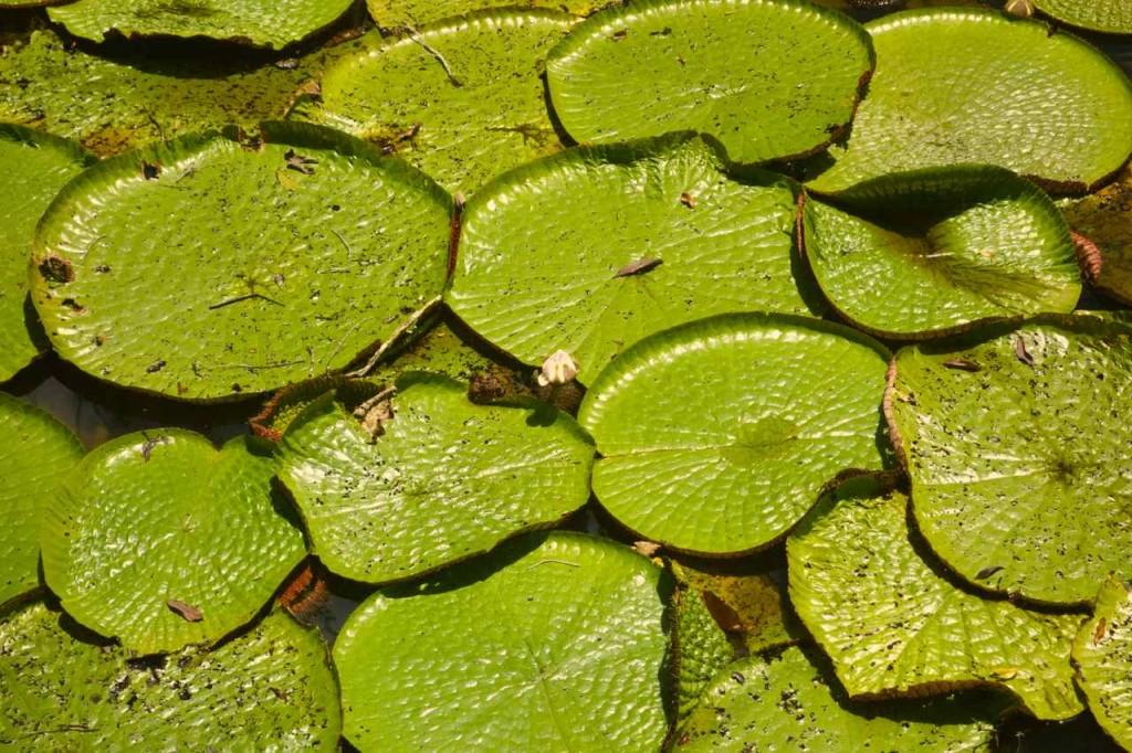 Wasserlilien bei Manaus