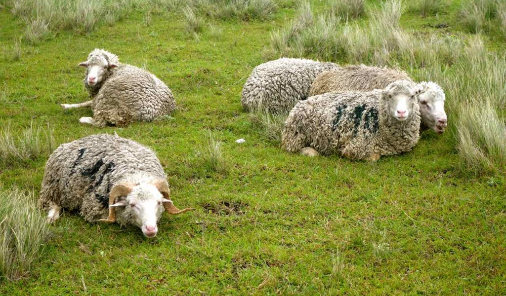 Südafrika, Wildcoast, Schafe