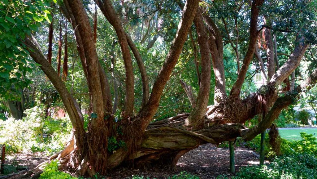 Kapstadt, Companys Garden, Knorriger Baum