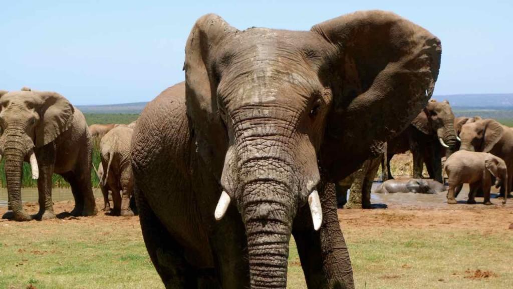 Südafrika, Addo Elephant Park, Elefant mit kurzen Stosszähnen