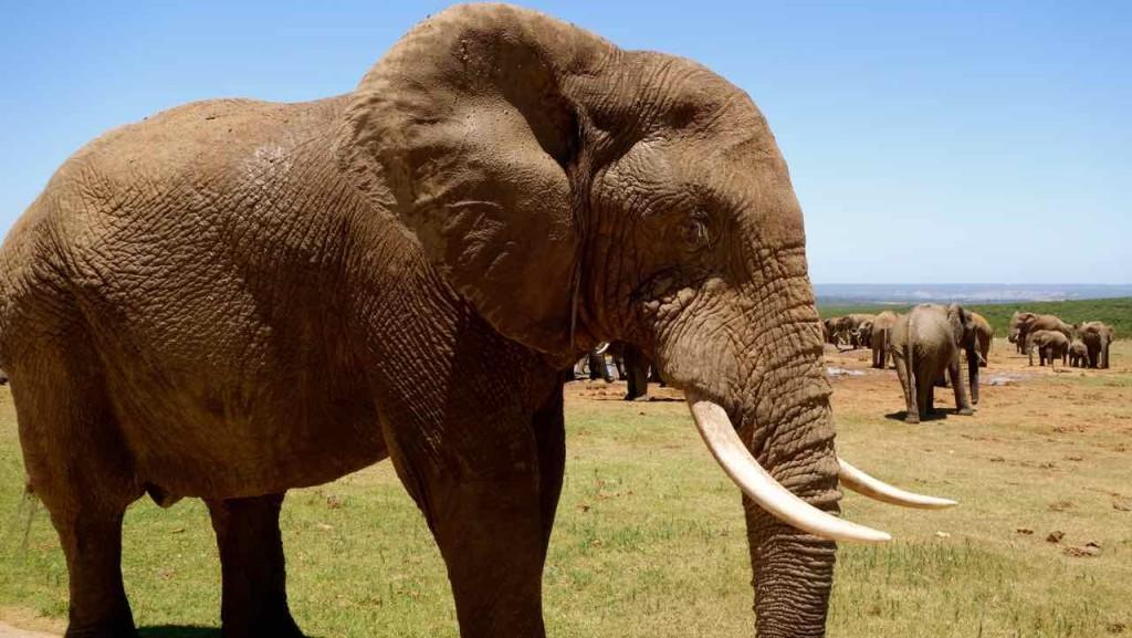 Südafrika, Addo Elephant Park, Elefant von der Seite