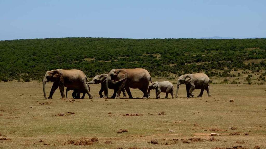 Südafrika, Addo Elephant Park, Elefanten unterwegs zum Wasserloch