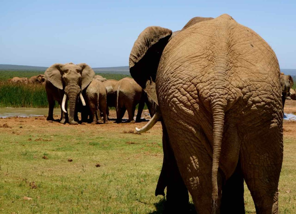 Südafrika, Addo Elephant Park, Elefanten von hinten und vorn vorne…