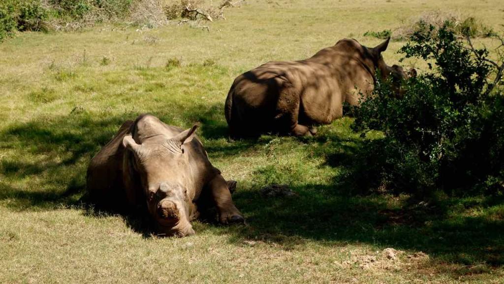 Südafrika, Addo Elephant Park, Nashornpaar