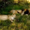 Südafrika, Schotia Private Game Reserve, Schlafendes Löwenpaar