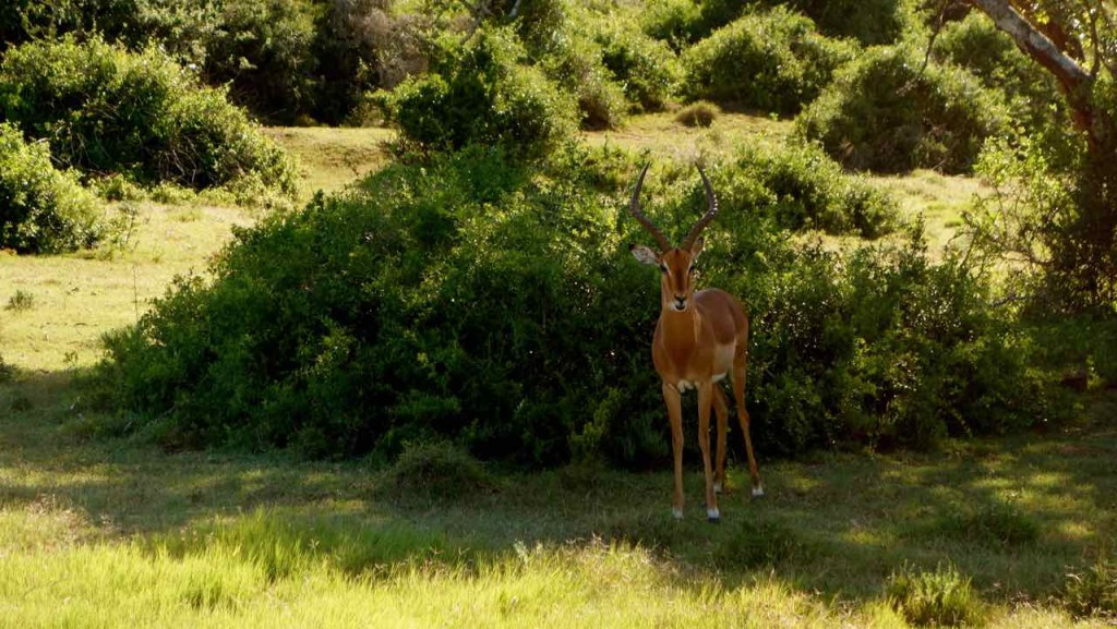 Südafrika, Springbock, das Wappentier Südafrikas