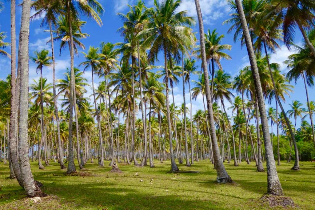 Brasilien Boipeba, Kokoshain auf dem Weg nach Moreré