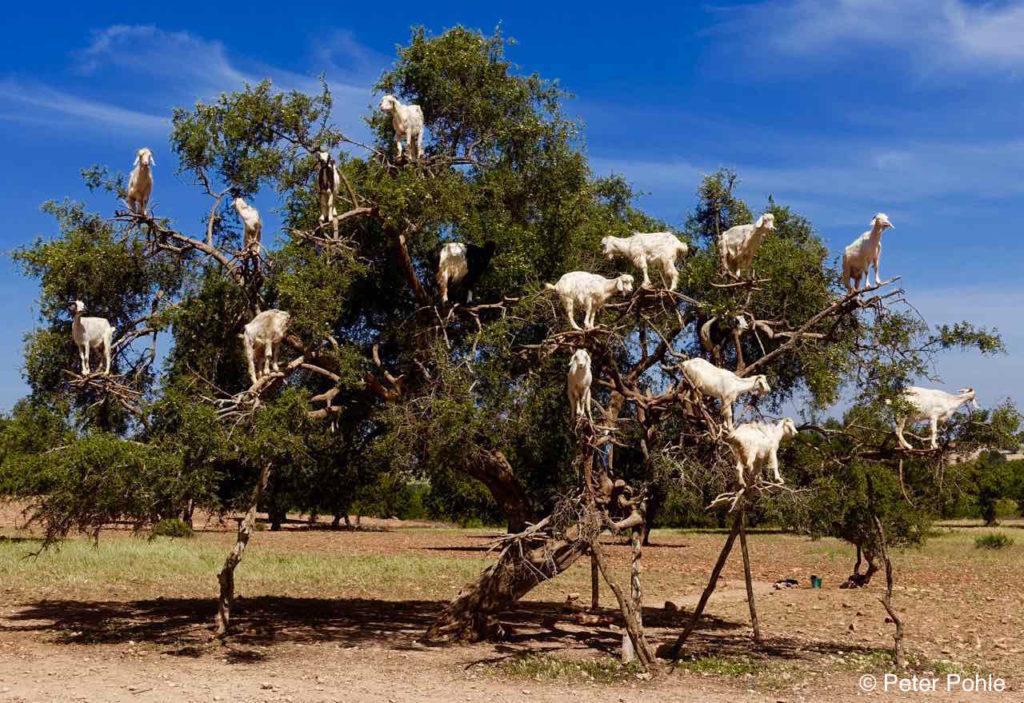 Foto-Highlights 2016, Ziegen, die auf Bäumen wachsen, nahe Essaouira, Marokko © Peter Pohle