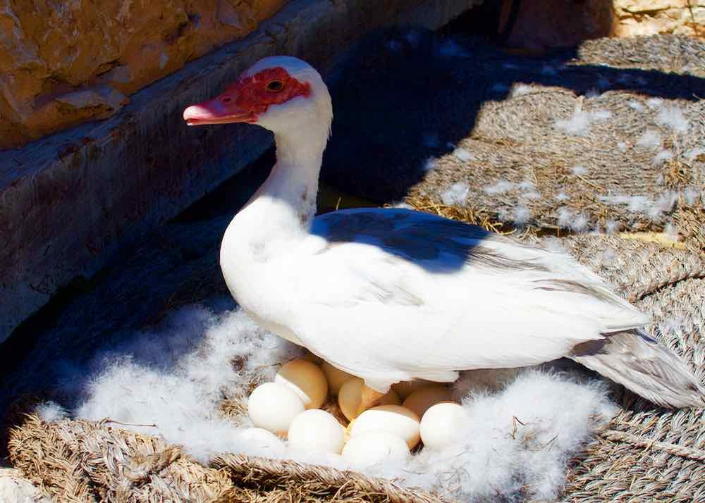 Temps de Terra Katalonien, Spanien, Ente mit Eiern
