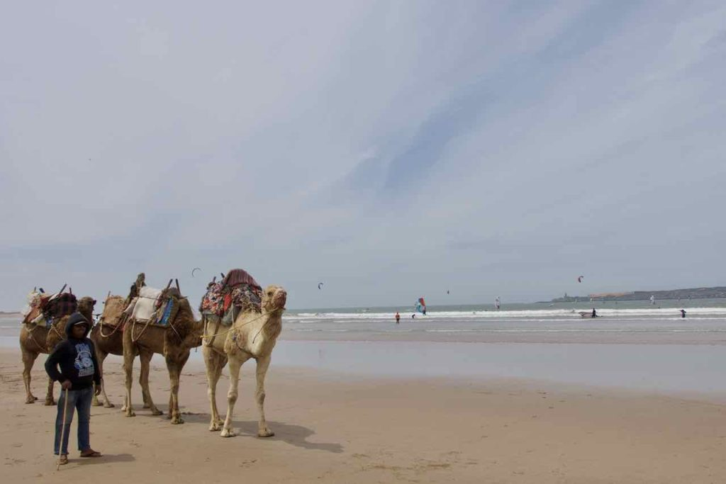 Essaouira, Marokko, Strand mit Kamelen ©PetersTravel