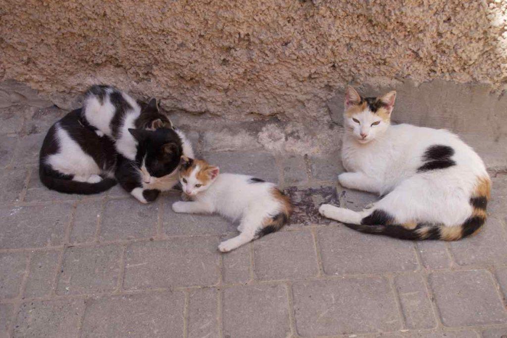 Essaouira, Marokko Katzen ©PetersTravel