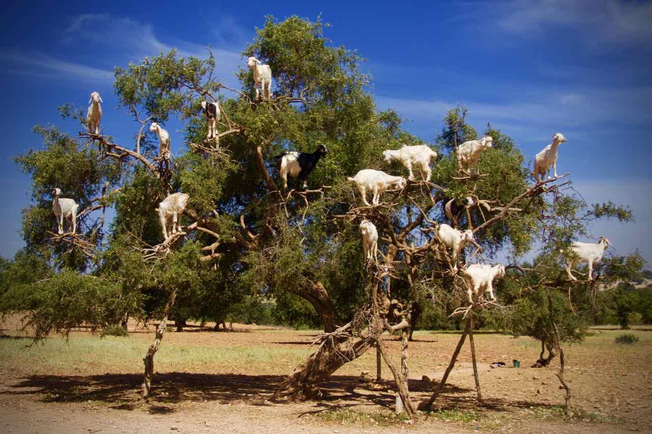 Ziegen, die auf Bäumen wachsen, nahe Essaouira in Marokko ©PetersTravel