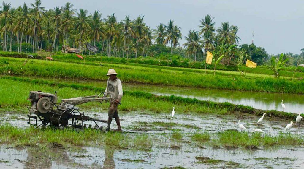 Bali: Bestellung des Reisfeldes (2) ©PetersTravel