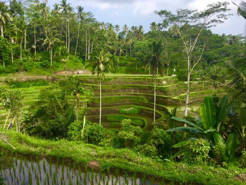 Bali Reisfelder: Tegallalang beim Café Dewi ©PetersTravel