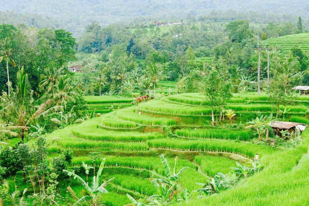 Bali Reisterrassen: Jatiluwih ©PetersTravel