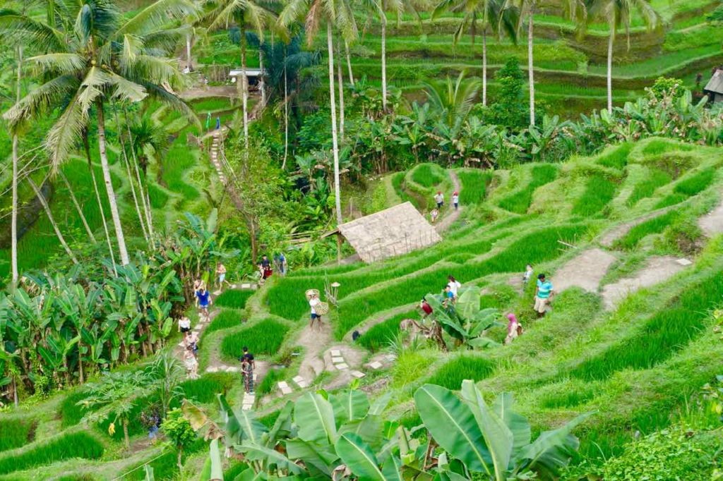Reisterrassen auf Bali: Tegallalang ©PetersTravel