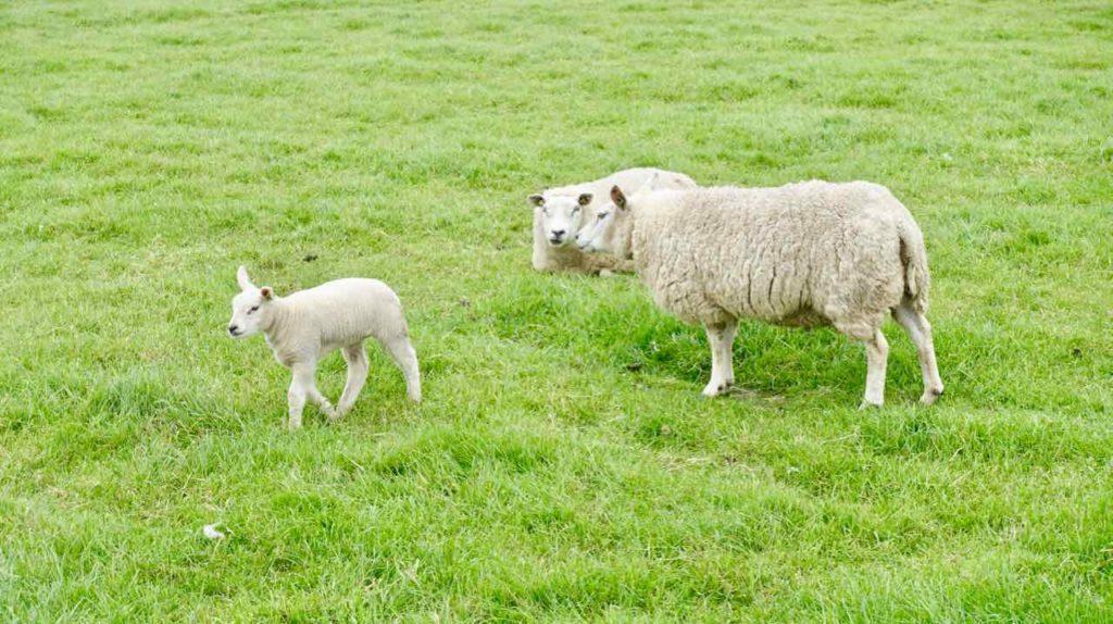 Urlaub auf Texel: Schafeltern mit Lamm auf der Insel Texel