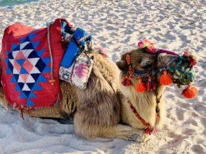 Kamel am Strand von Hammamet