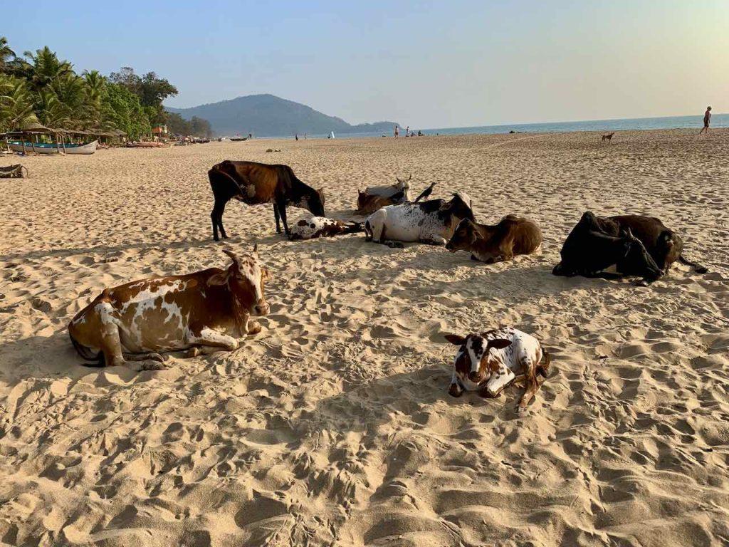 Kühe am Agonda Beach in Goa