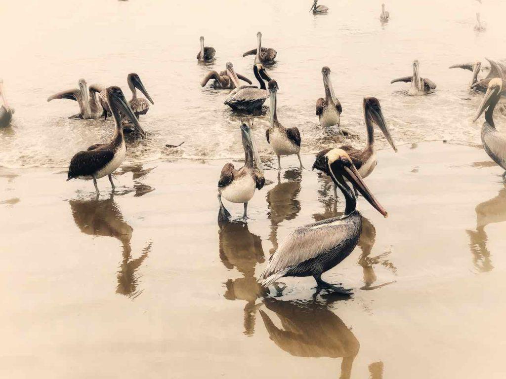 Pelikane in Puerto Lopez
