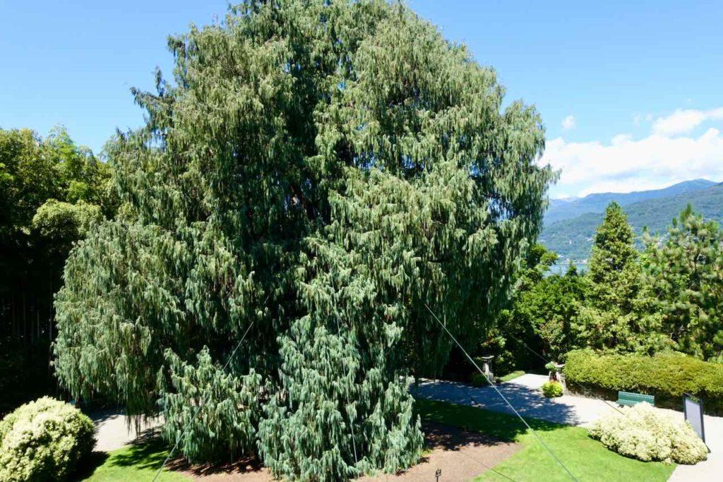 Kaschmir-Zypresse im Garten der Isola Madre auf dem Lago Maggiore
