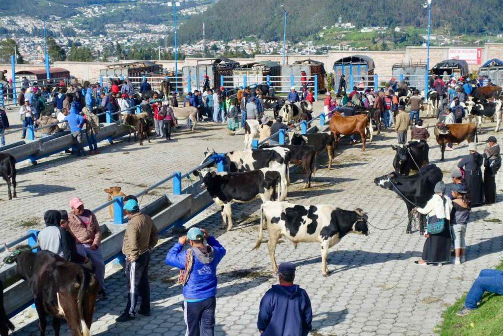 Kühe auf dem Viehmarkt bei Otavalo
