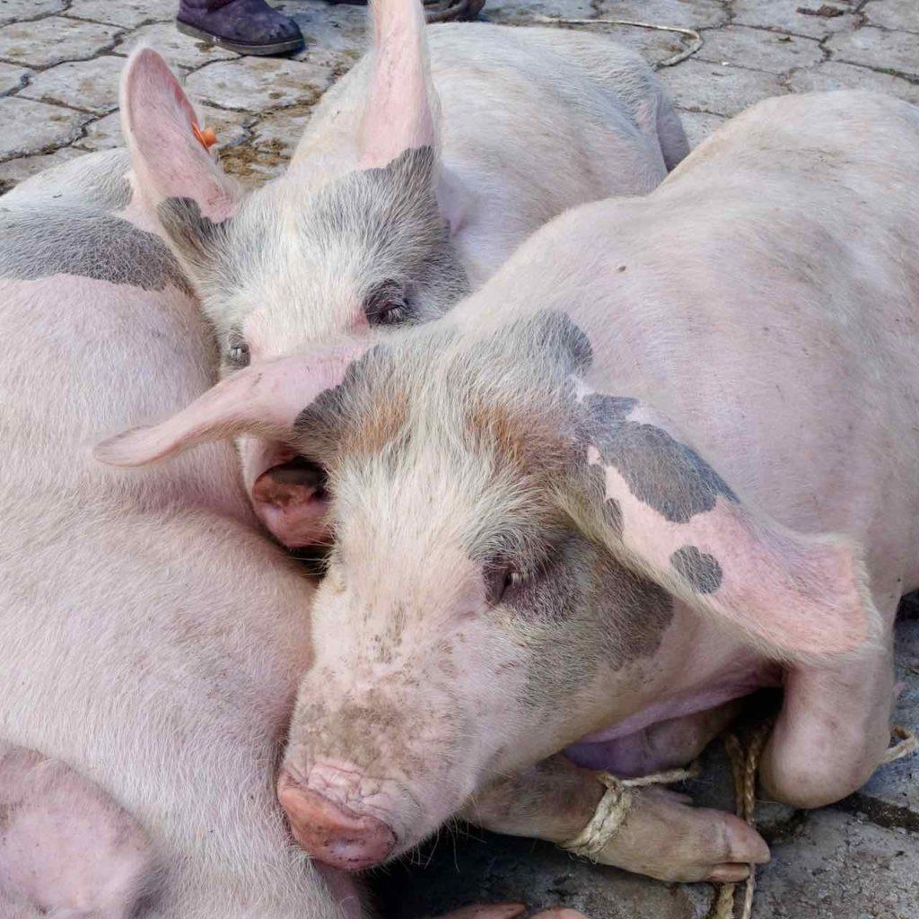 Schweine auf dem Viehmarkt bei Otavalo
