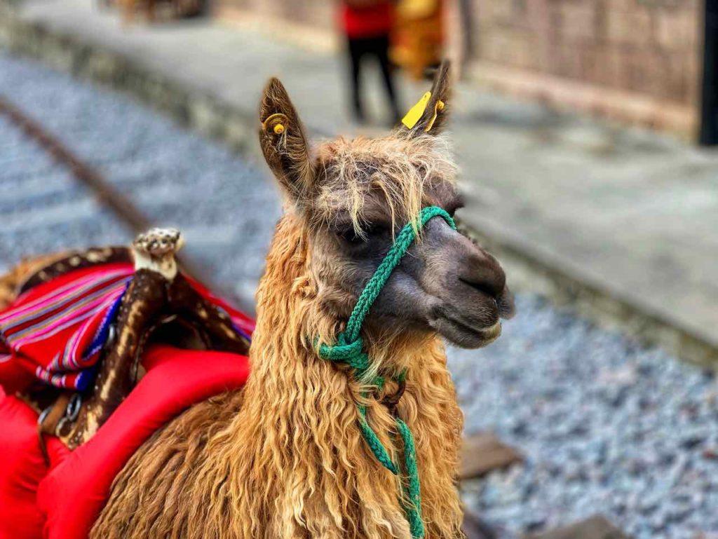 Fotogenes Lama auf dem Bahnhof von Sibambe auf der Zugfahrt zur Nariz del Diablo